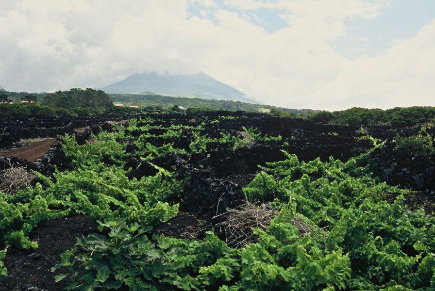 Vinhas do Pico - Património Mundial da UNESCO